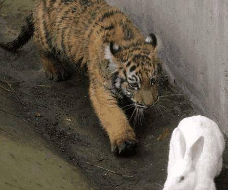 原创 原本是想给老虎练练手加个餐, 效果它们却成了好朋友