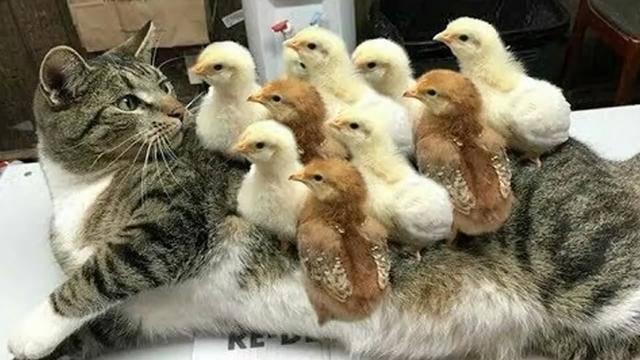 『猫咪』还啄猫咪的脑袋,怕是不要命了吧,调皮小鸡踩着猫咪身上蹿下跳