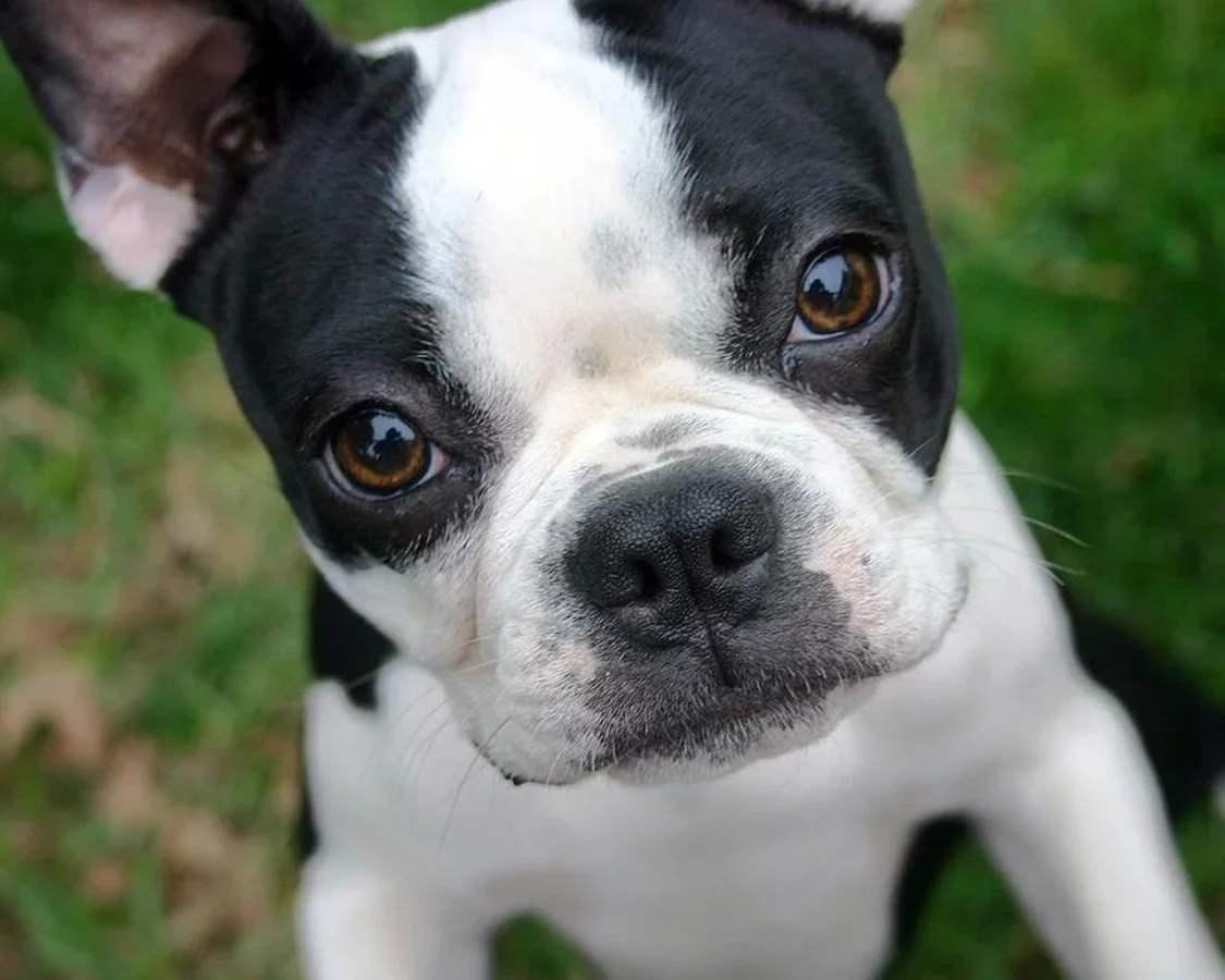 查理士王小猎犬训练 训练查理士王小猎犬方法