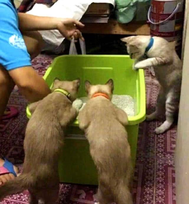 原创 主人给猫咪清算粪便,猫咪急遽跑来围观,专注的样子引人发笑