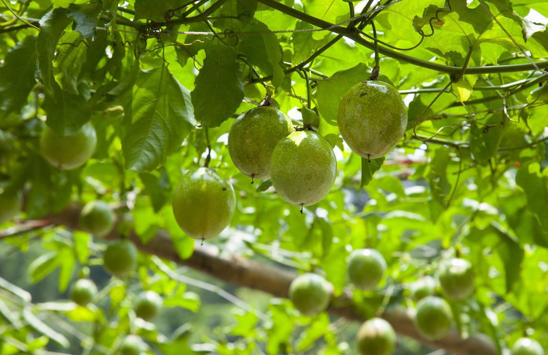 百香果种一季活多久