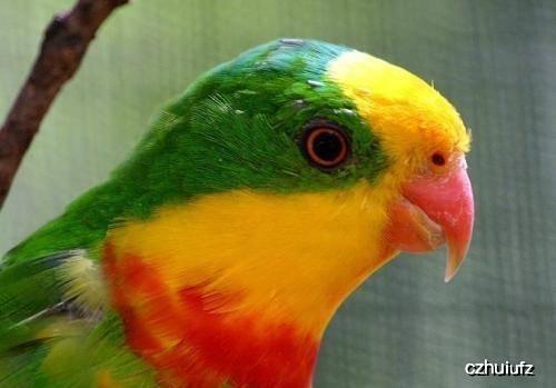 原创 海内罕有的鹦鹉,霸气的超级鹦鹉,很多人可能一辈子都没有见过