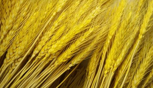 夏粮丰收,色选,在小麦磨粉时(图1)