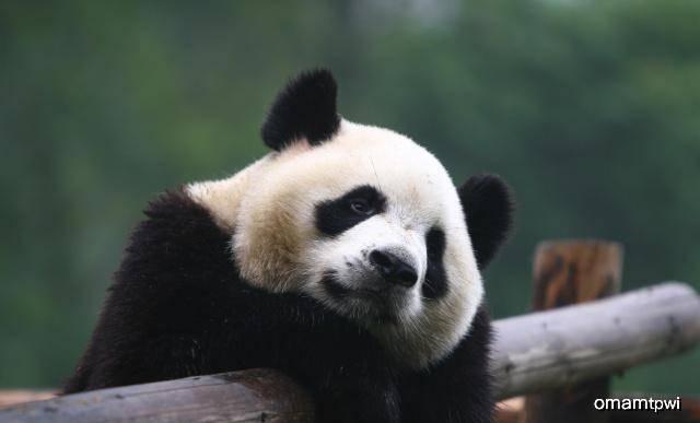 原创 出借俄罗斯大熊猫租期到了,俄罗斯不舍:能不能拿北极熊换啊