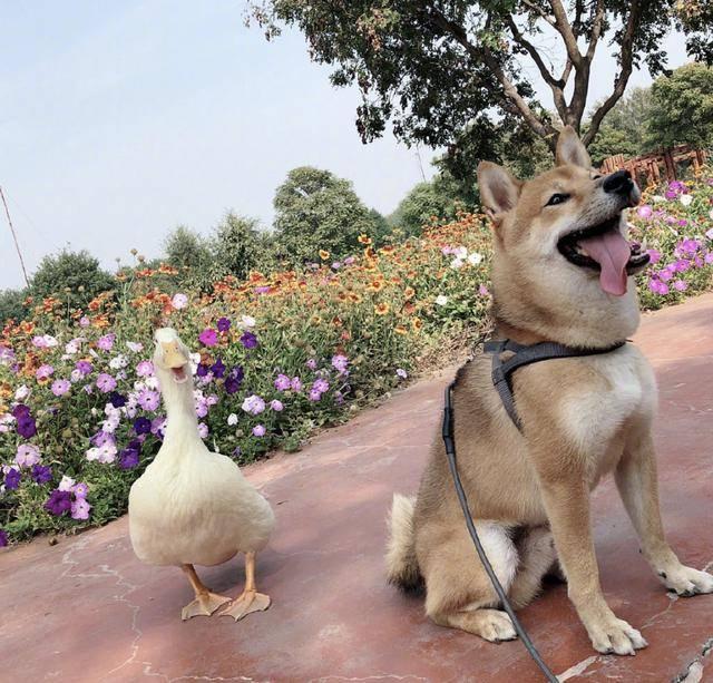 原创 王珞丹发布寻鸭启事,偷鸭者被找到,但吉吉已不在人世,令人愤慨