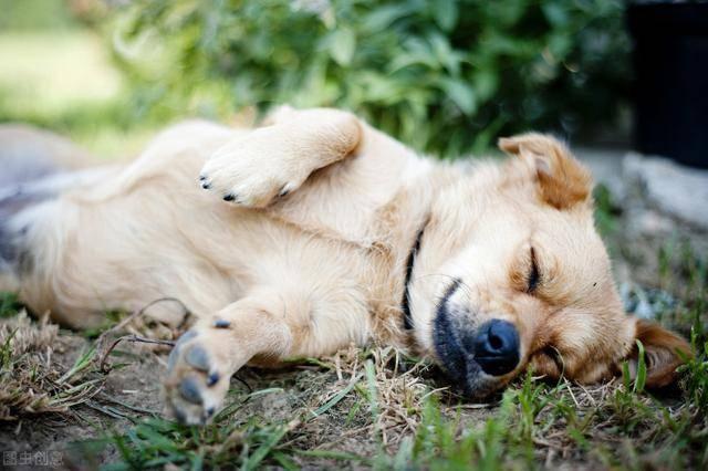 睡眠|狗狗会对你死心塌地若给足这5样东西