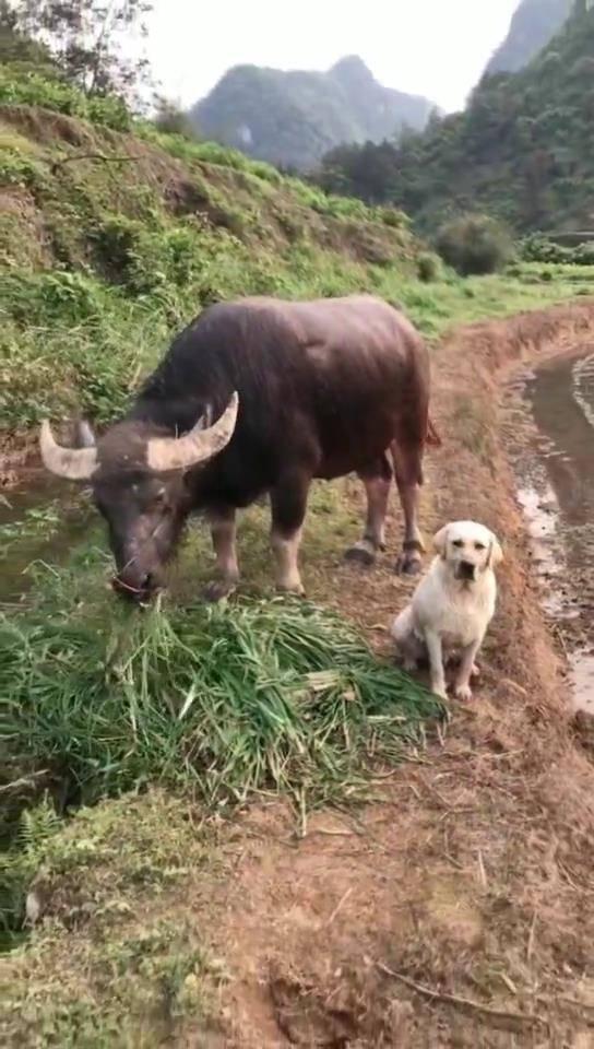 放牛喂牛?穷人的孩子早当家,狗狗为这个家已经操碎了心!