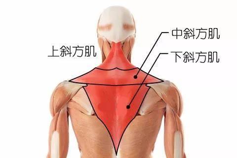 如何练习斜方肌?改善圆肩驼背,这八个体式比撸铁还有效_肌肉