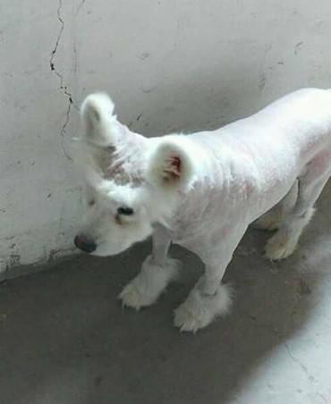 原创 萨摩耶毛发脏乱,主人为节约时间,二话不说带它剃了个狗啃发型