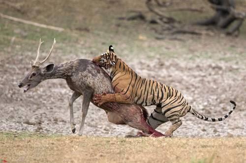 原创 鹿中的平头哥,不知道什么是退缩,面临危险也有着迷之自信