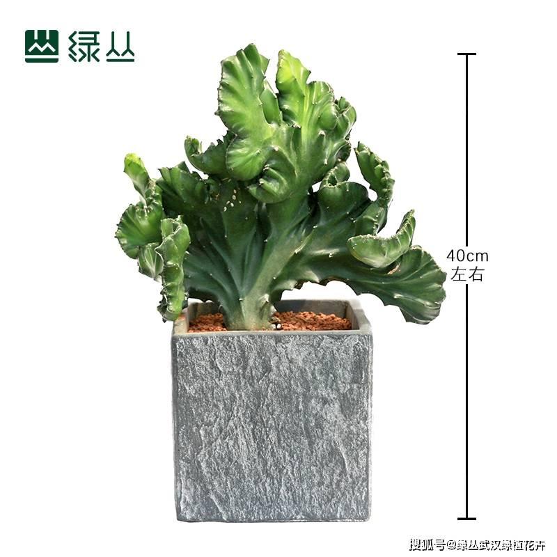 这种植物也是很好打理的就算出差一个月不浇水它也照样枝叶茂盛 家居 盆栽 工具