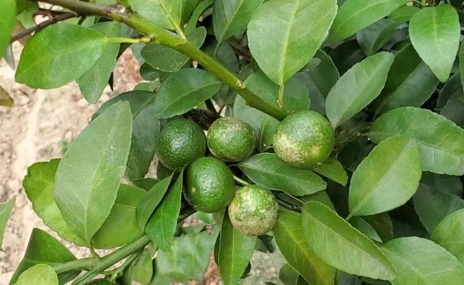 柑橘白皮病呈上升趋势,到底如何防治?