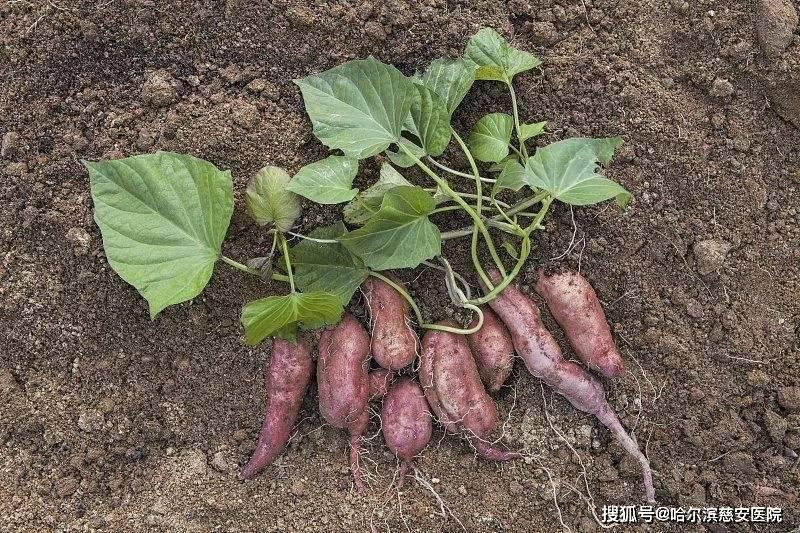 【保健】不认识的红薯保健效果很好