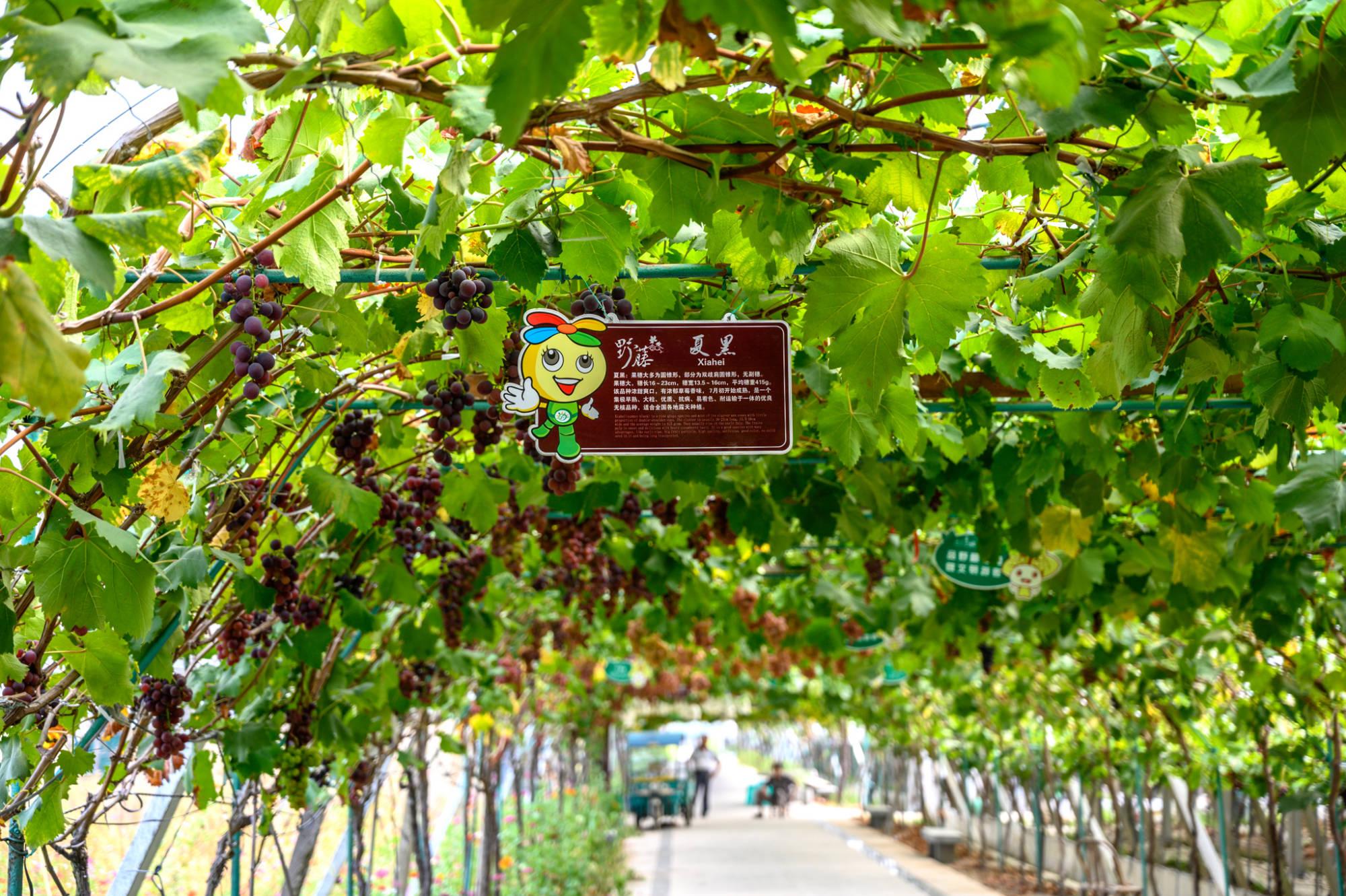 """原创             中国葡萄之乡盖北镇,被誉为""""江南吐鲁番"""",葡萄好吃到停不下来"""