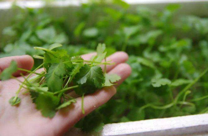豌豆苗的栽植方法非常简单和普遍,尤其