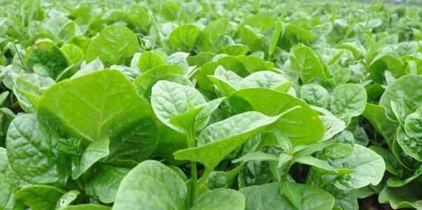 养肝就是保命,3种野菜换着吃,排毒素,清垃圾,吃出好身材