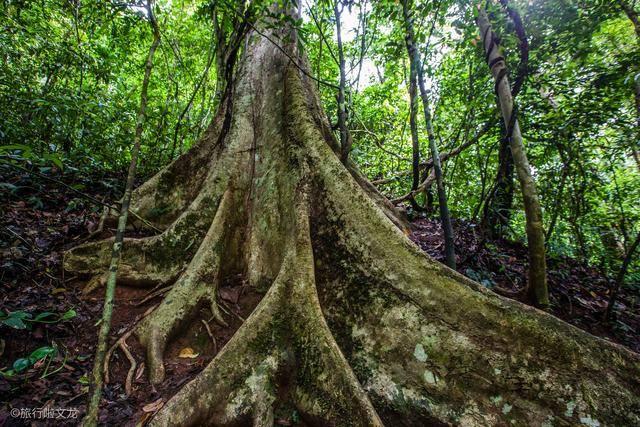 原创             西双版纳最有看点景区,望天树是热带天堂中的巨人,种子上过太空