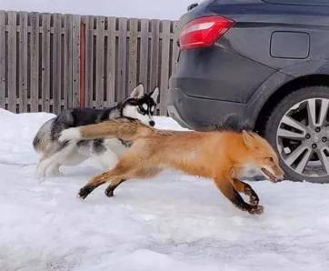 """主人怕哈士奇拆家又养了一只狐狸,依据是""""狐朋狗友"""",还很成功"""