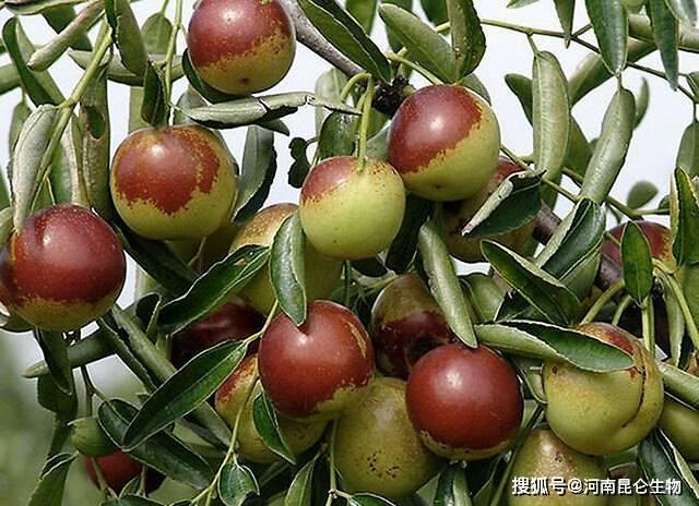 果树冬枣用什么肥料?水果膨大需要什么肥料?冬枣增产用什么肥料好?