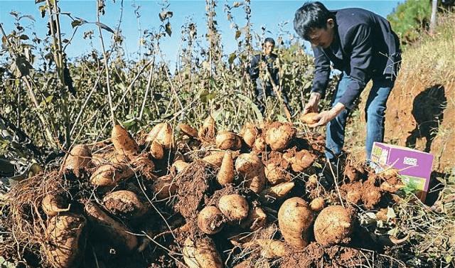 """农民不种姜 改种""""它"""" 其价值不亚于人参 亩产八千斤"""