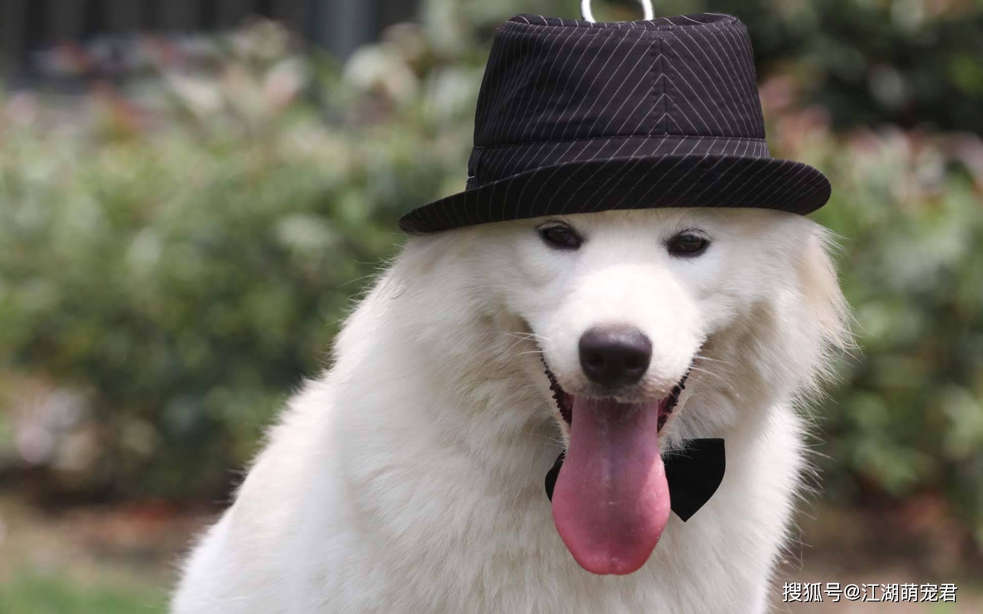 原创 你的狗狗,有两大异常功能,你知道吗?