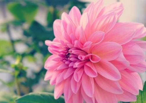 1种花 比玫瑰更鲜艳 盛夏开花 开数百朵花 持续180天