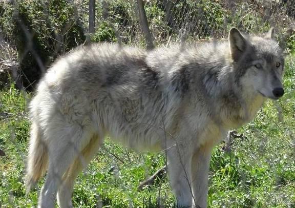 40多名科学家警告说 欧洲狼是遗传的或受