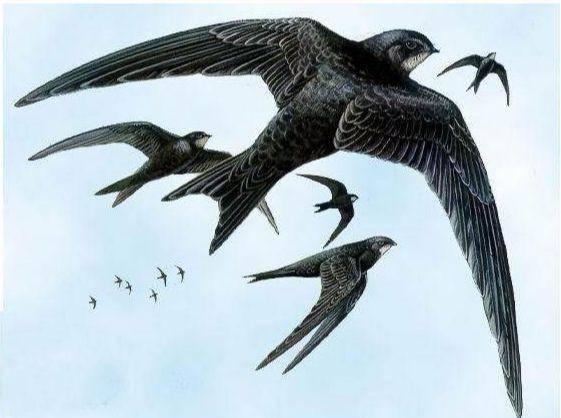 鸟类飞行最远记录刷新:一只斑尾塍鹬从阿拉斯加一次性直飞新西兰