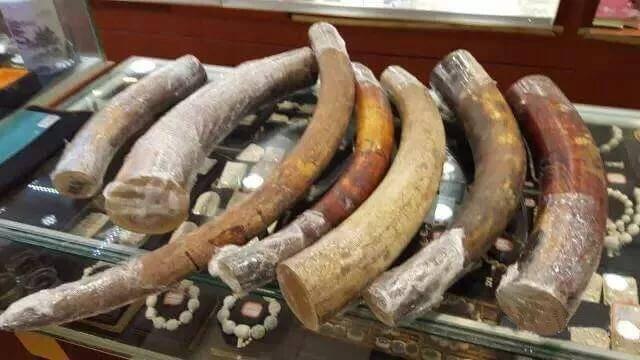 猛犸象牙种类、好坏、真假、做旧的鉴别以及象牙保养你一定要知道的知识-藏斋珠宝文玩