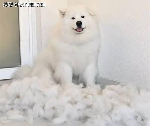 原文【宠物小技巧】萨摩耶脱发如何调理