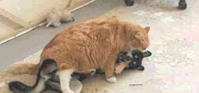 """主人给橘猫喂各种好吃的,等它长胖后派它去执行一项""""特殊任务"""""""
