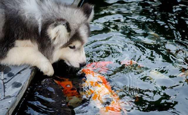 哈士奇跟鱼争宠,二哈:我要喝干鱼缸里的水