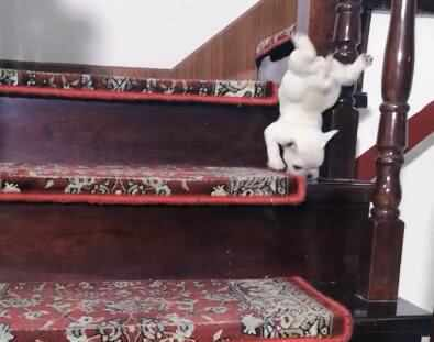 两只小奶狗下楼梯,第二只小狗一出手,主人当场笑翻了