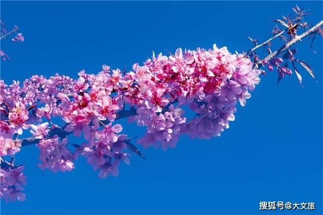组图!普洱冬樱花又开了