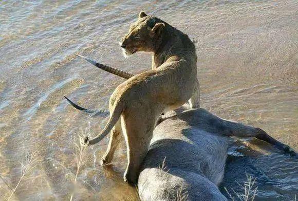 狮子辛辛苦苦捕捉一只羚羊,然则接下来却遇到了尴尬的事情,好愚蠢的狮子!