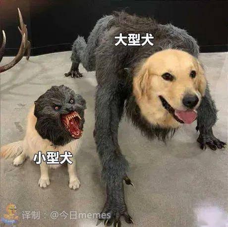 明明狗的体型差异这么大,大型犬却被小型犬这么对待...