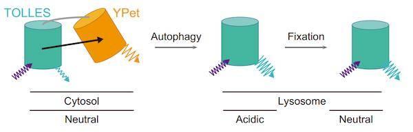 『快报』Cell︱重磅!一种强有力的线粒体质量控制的研究工具