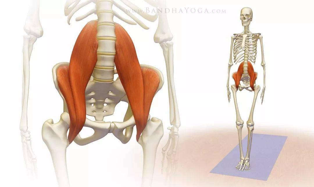 练瑜伽,千万不要忽视了重要的髂腰肌!