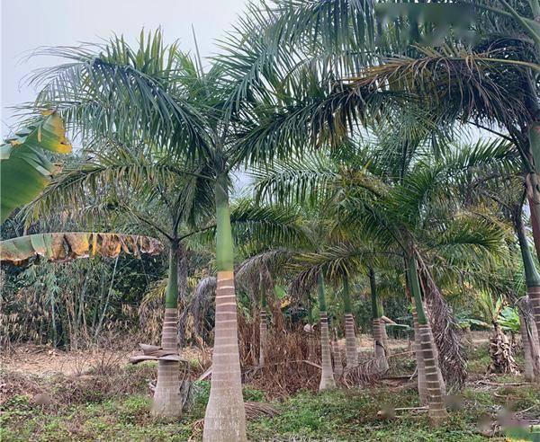 仿真大王椰子树_大王椰子的椰子_大王棕与椰子树的区别
