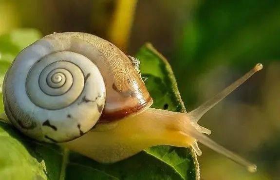 蜗牛是什么动物?蜗牛一般以什么为食?插图(1)