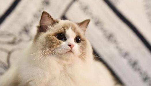 布偶猫的饲养图片