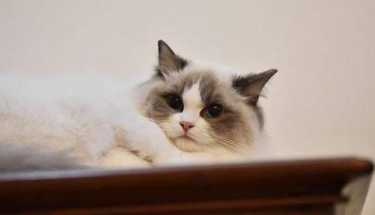 布偶猫饲养经验图片