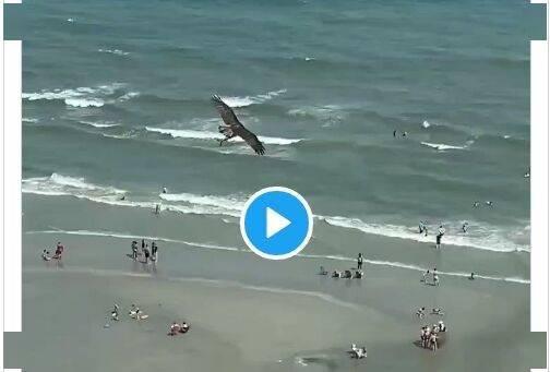 美国海边异景!伟大老鹰从海中抓起一头鲨鱼 网友:《鲨卷风》成现实了