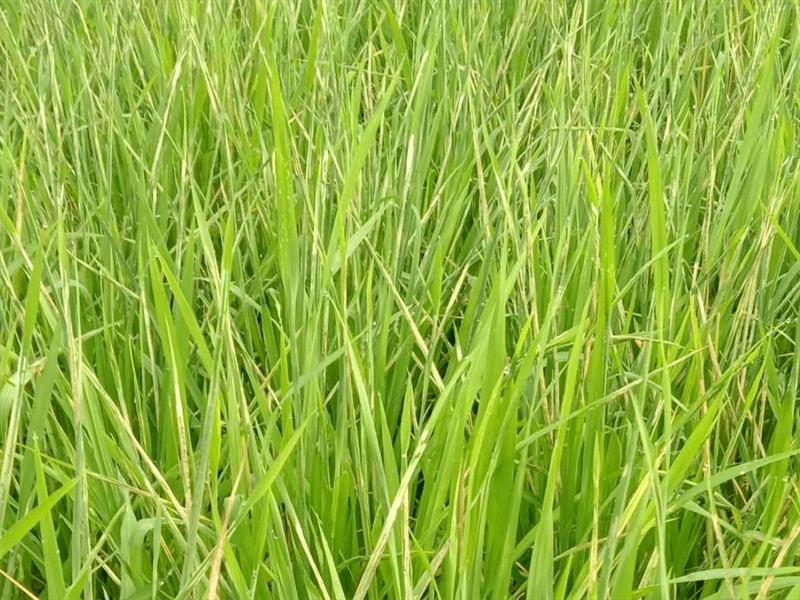 【科技服务】切实做好当前一季稻病虫防治指导