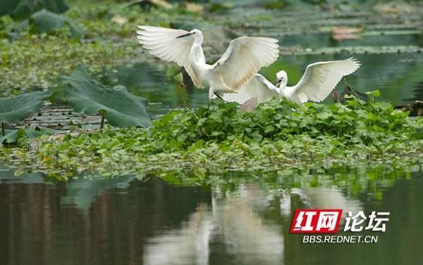 长沙西湖公园白鹭双双舞翩跹 网友:鸟儿都开始撒狗粮了