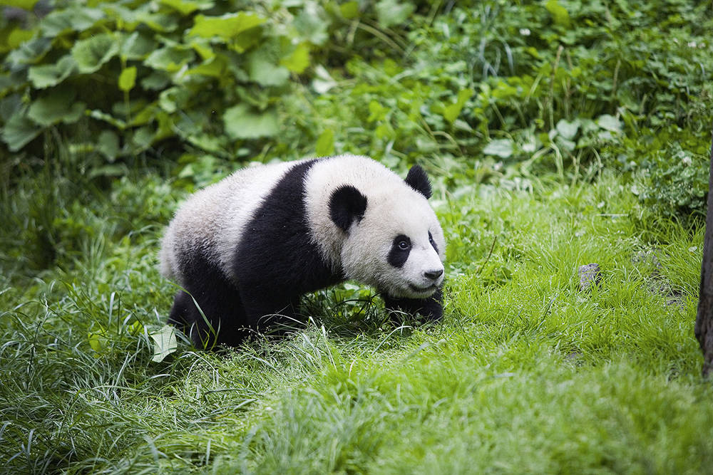 WWF:大熊猫作为伞护物种对生物多样性保护的贡献非常明显