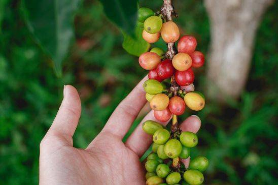 咖啡里的绿原酸,简直可称为保健神器! 防坑必看 第1张