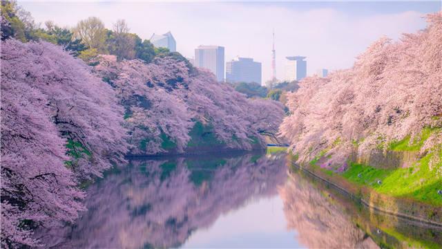 日本的春天正是赏樱的时候 我们吃什么?