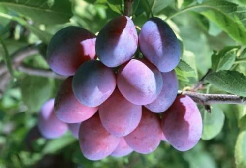 """西梅被称为""""功能水果"""",可慢性疾病人群应该吃硬的软的?别吃错"""