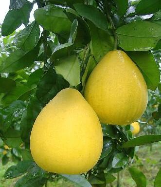 柚子丰收乡村振兴